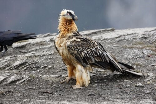 The Bearded Vulture: Characteristics and Curiosities