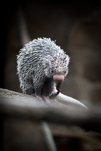 A prehensile tailed porcupine.