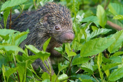 A porcupine feeding on leaves.