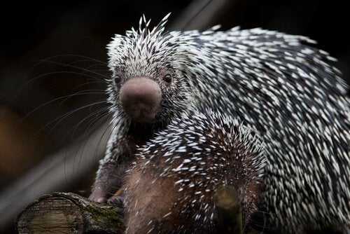 Meet the Adorable Prehensile Tailed Porcupine