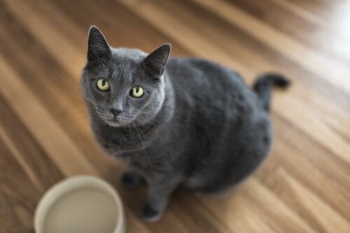 A grey cat looking suspicious.