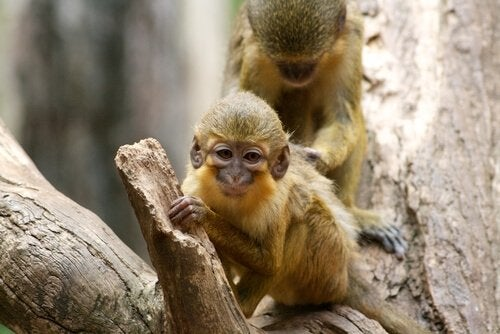 Talapoin monkeys are very interesting looking.