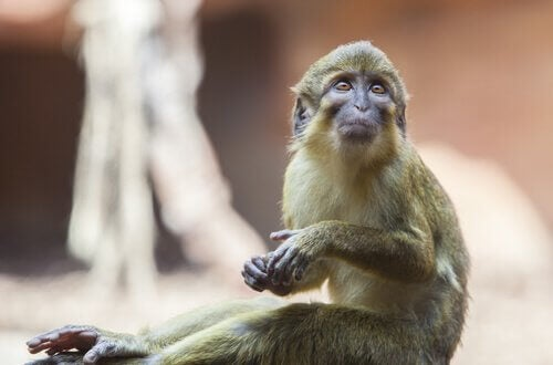Talapoin Monkeys: Characteristics, Behavior and Habitat