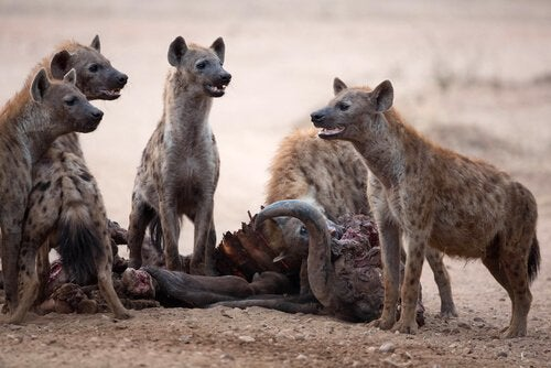 This is a group of hyenas.