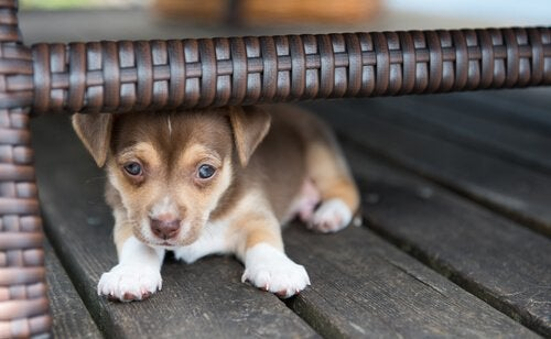 A puppy hiding under a chair.