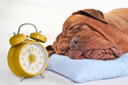 A dog sleeping next to an alarm clock.