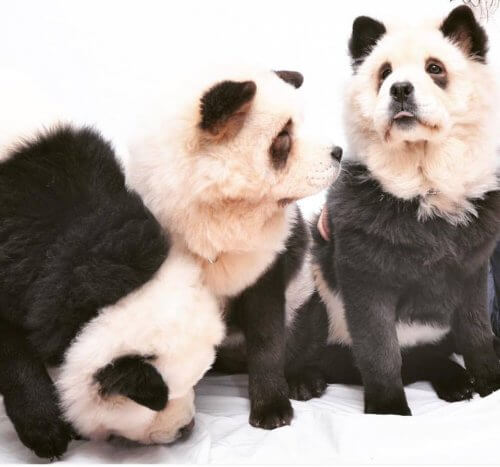 Panda Chow Chow: Is it a Dog or a Panda?