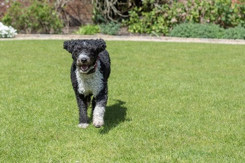 This is a Spanish water dog.