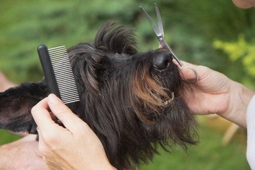 A woman cutting her pet's hair.