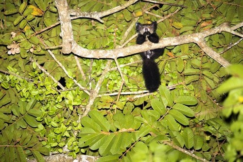 The aye-aye caught on camera while eating.