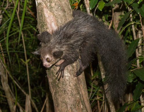 Meet the Aye-Aye: The Largest Nocturnal Primate