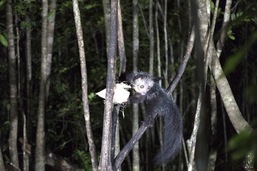 An Aye-aye hanging from a branch.