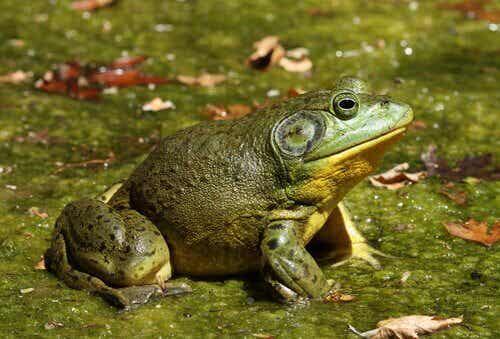 The Unwelcome Invasive Bullfrog