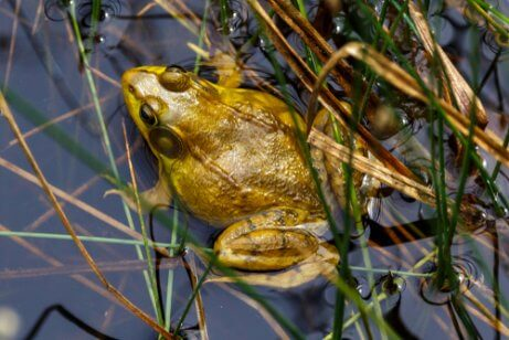 This is a brown frog among water plants.