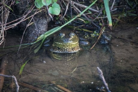 A bullfrog hiding under some plants in the water.