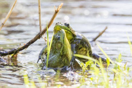 A frog carrying prey in its mouth.