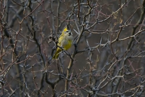 A yellow cardinal between the branches of a tree.