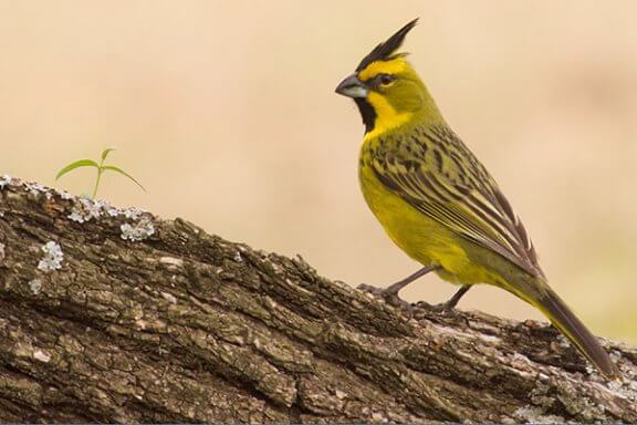The Yellow Cardinal: A Sweet and Melodious Singer