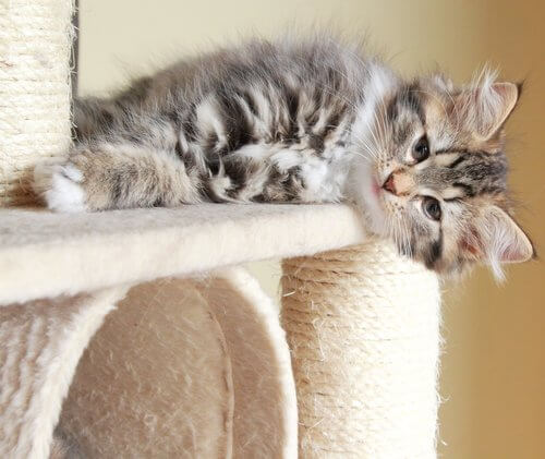 A fluffy tiger kitten lying on a cat climbing toy.