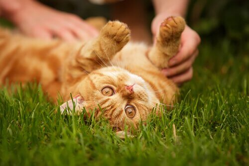 A cat lays belly-up in the grass, playing with a human.