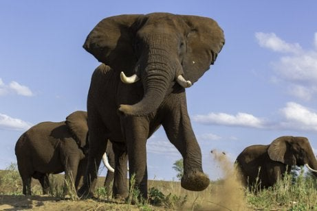 Large elephant with tusks that appears to be charging.
