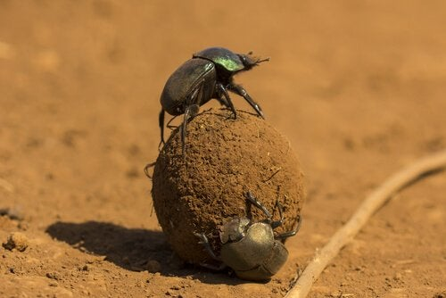 Two dung beetles rolling a dung ball.