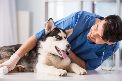 A veterinarian lies down with a husky dog.