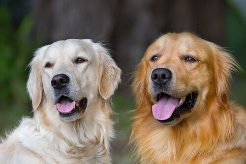 Two golden retrievers sit next to each other, panting.