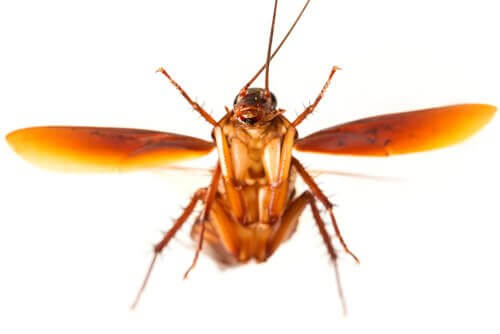 A cockroach flying.
