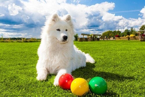 A dog is lying down in the grass next to a three bocci balls, one red, one yellow, and one green.