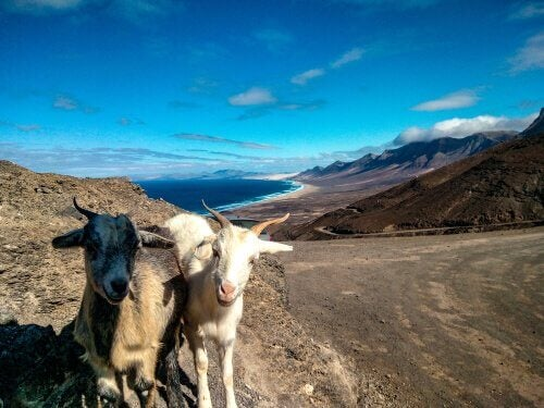 A coupe of Fuerteventura goats posing for the camera.
