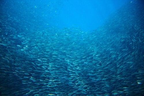 Sardines migrating in the ocean.