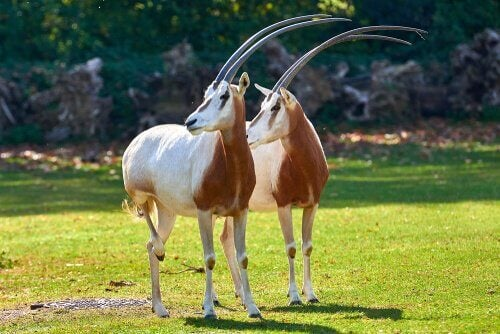 A pair of scimitar-horned Oryx.
