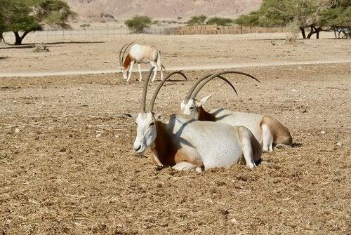 The Scimitar-Horned Oryx: A Grasslands Antelope