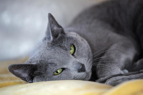 The Russian blue cat has a characteristically gorgeous, black-blue fur.