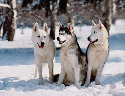 A group of three Siberian huskies standing in the snow.