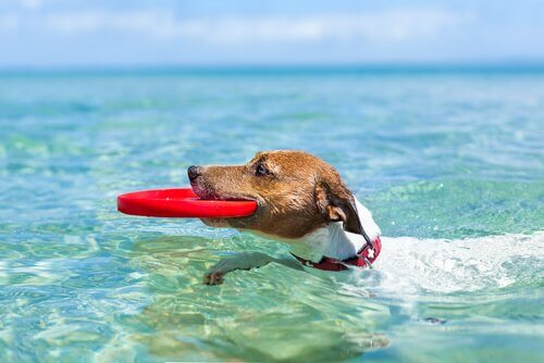 A swimming dog with a disc.