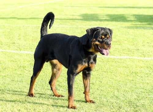 Does Breed Determine Aggression?