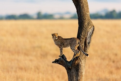 A cheetah on top of a tree.