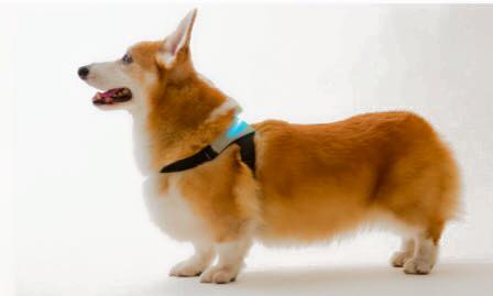 A corgi wearing an inupathy harness so that you can know how your dog feels.