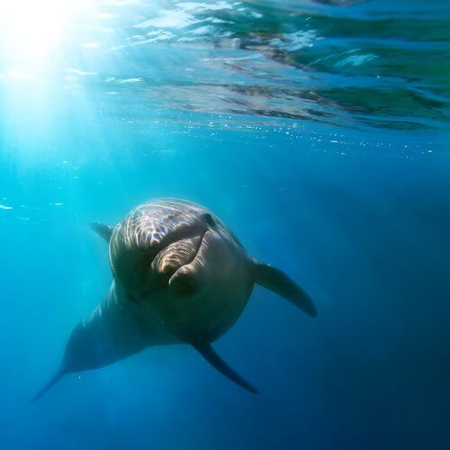 A dolphin swimming in the sea.