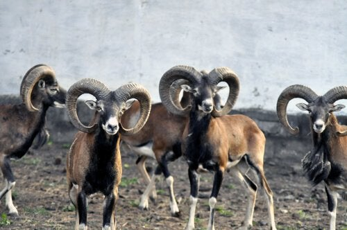 A herd of argali sheep.