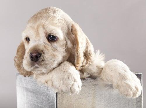 A puppy in a box.