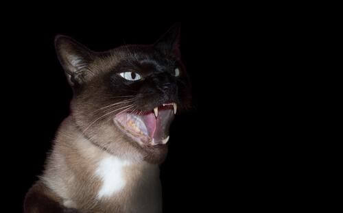 A scary looking cat in the dark.