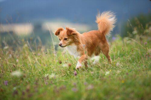 A small dog walking through a field.