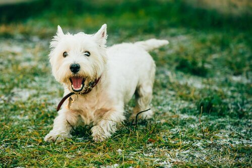 A Yorkshire terrier following food, one way to train your dog to track.