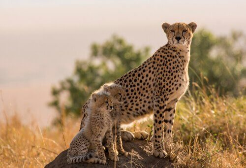 An adult cheetah with two young ones.