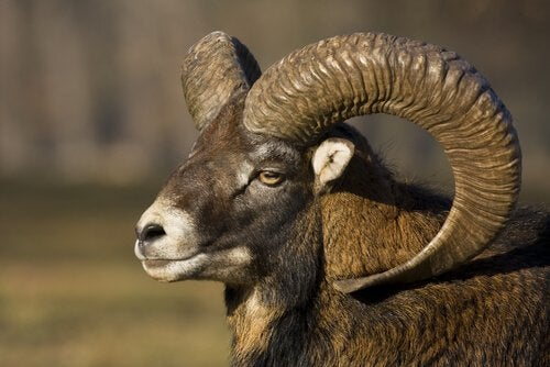 Argali Sheep: Characteristics of a Wild Mountain Sheep