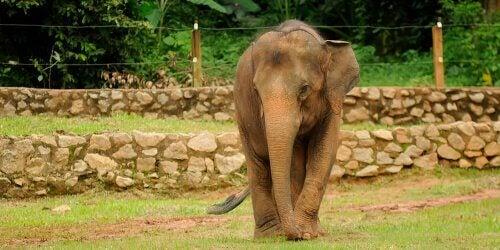 A pygmy elephant.