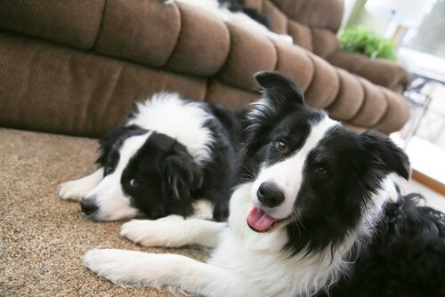 Two dogs lying on the carpet.